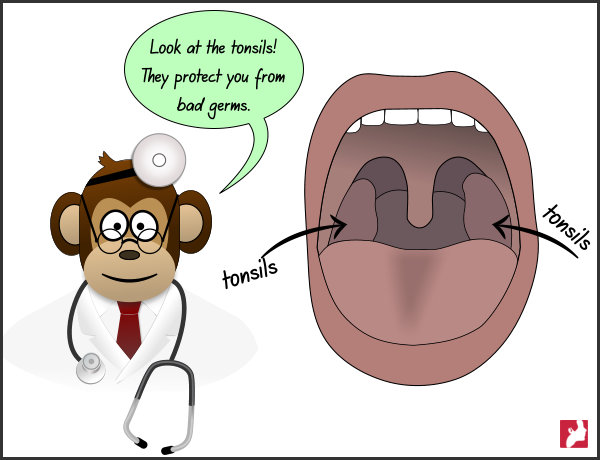 Look at the tonsils! They protect you from bad germs.